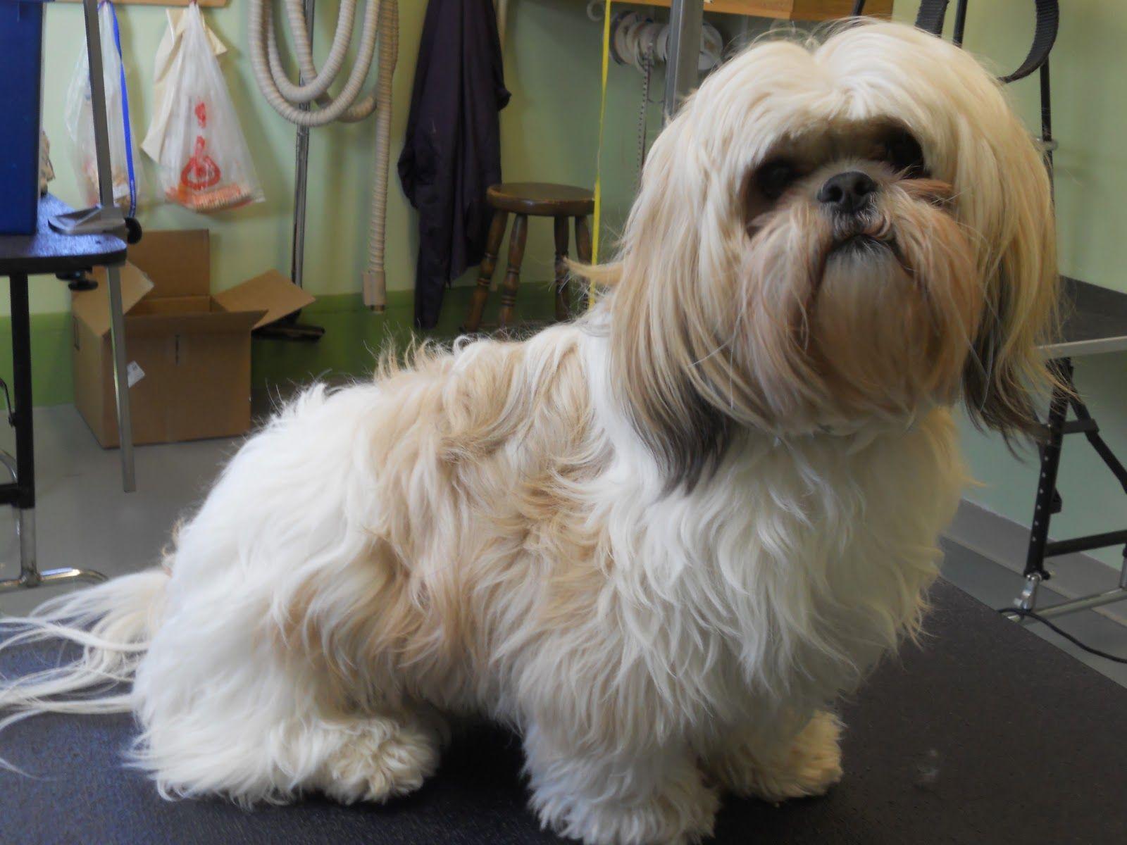 Male Shih Tzu Haircuts Hairstyle Gallery Shih Tzu Haircuts Shih Tzu Poodle Mix Puppies