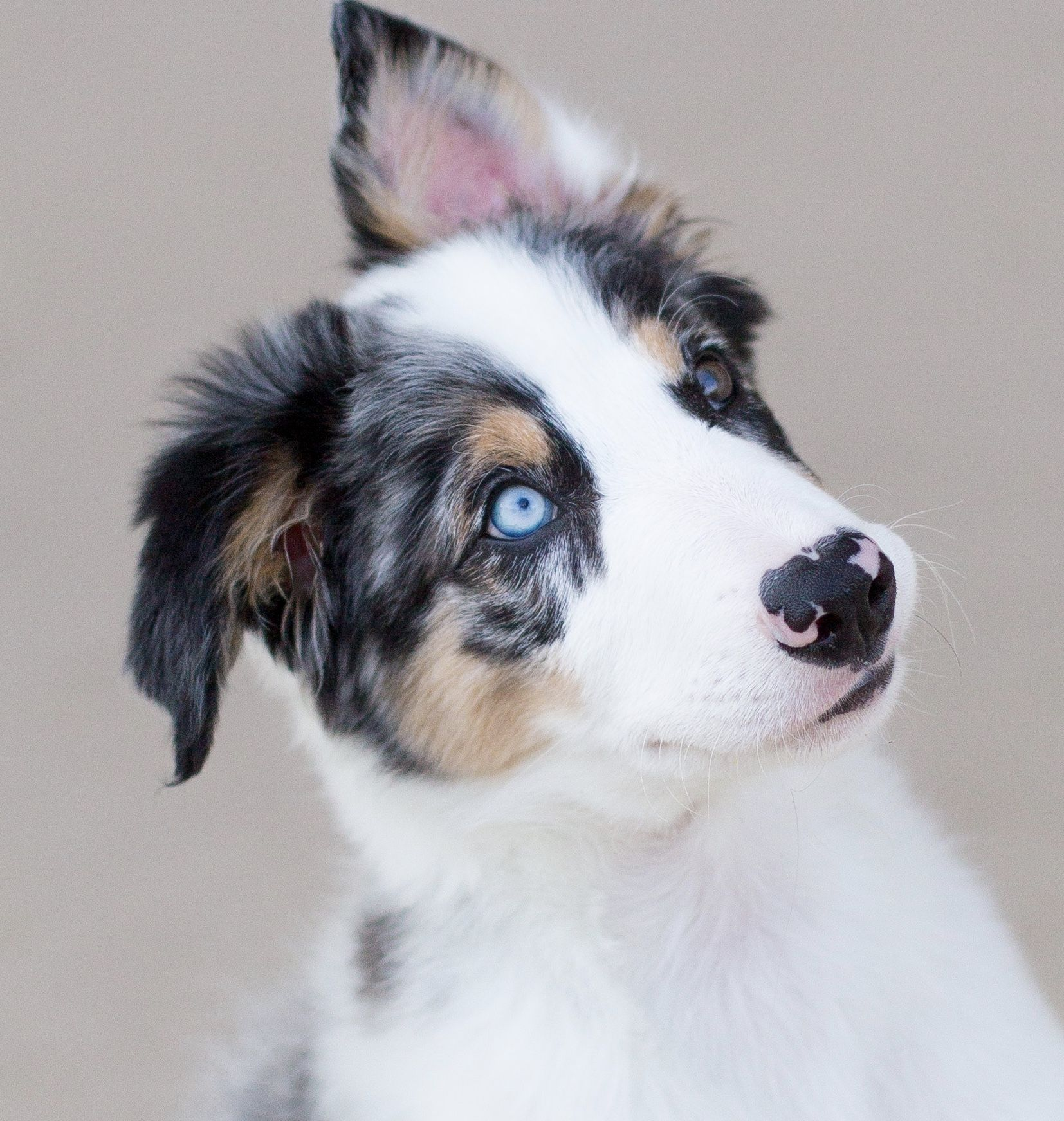My Blue Merle Tri Border Collie Puppy Border Collie Puppies Border Collie Collie Puppies