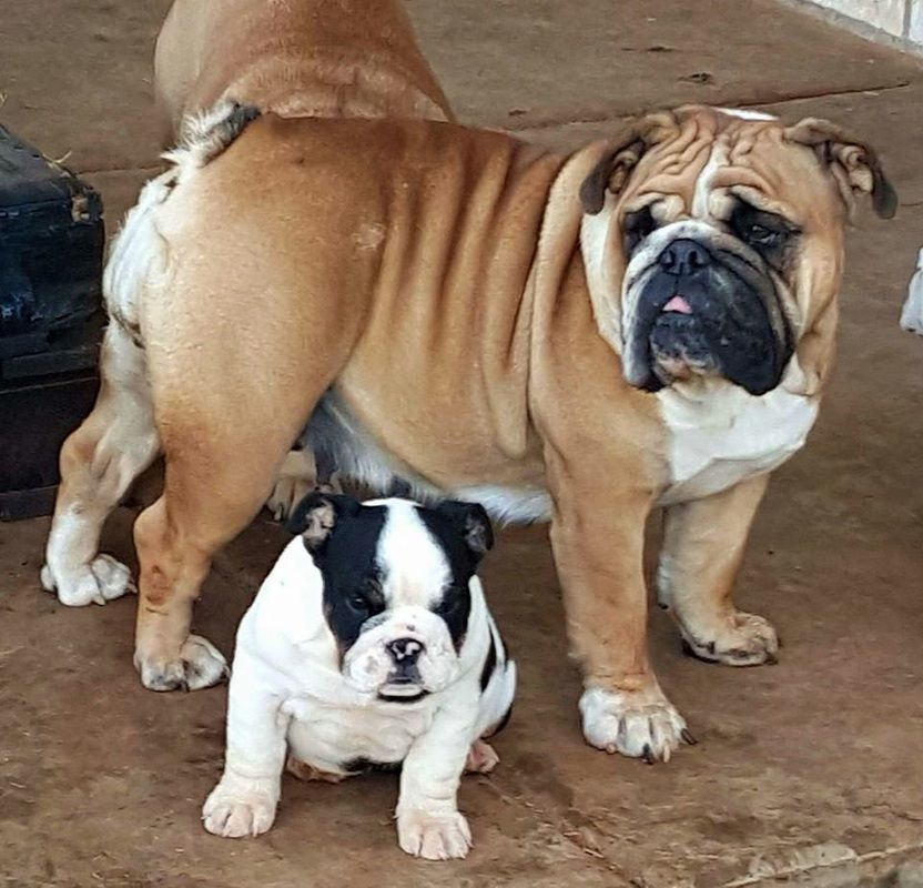 Pet Solutions Bulldog Rescue English Bulldog Breeders Bulldog
