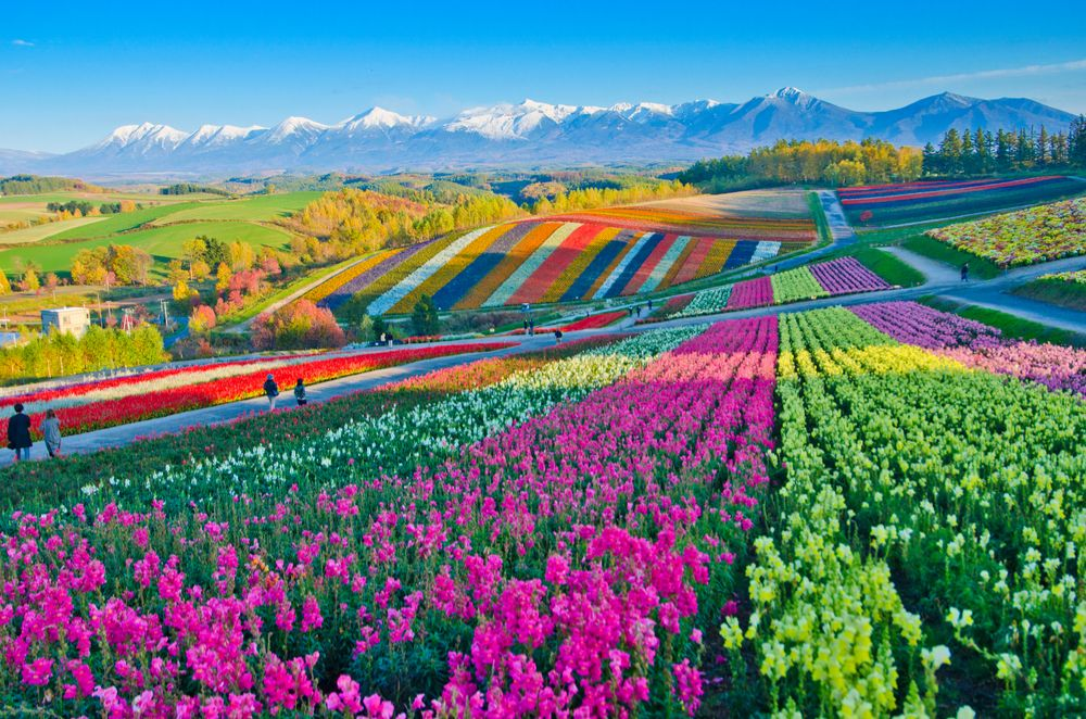 Panoramic Flower Gardens Shikisai hill in Biei Colorful