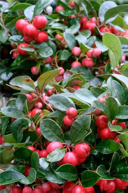 Gaultheria procubens Wintergreen