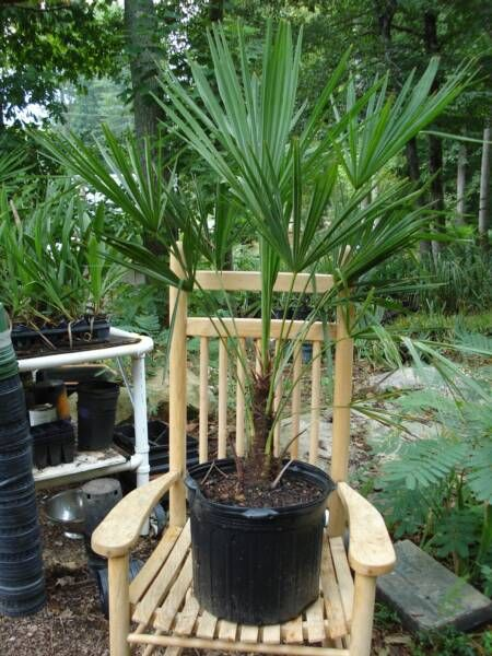 7 Gallon Windmill Palm Grows Great In Tennessee 3 To