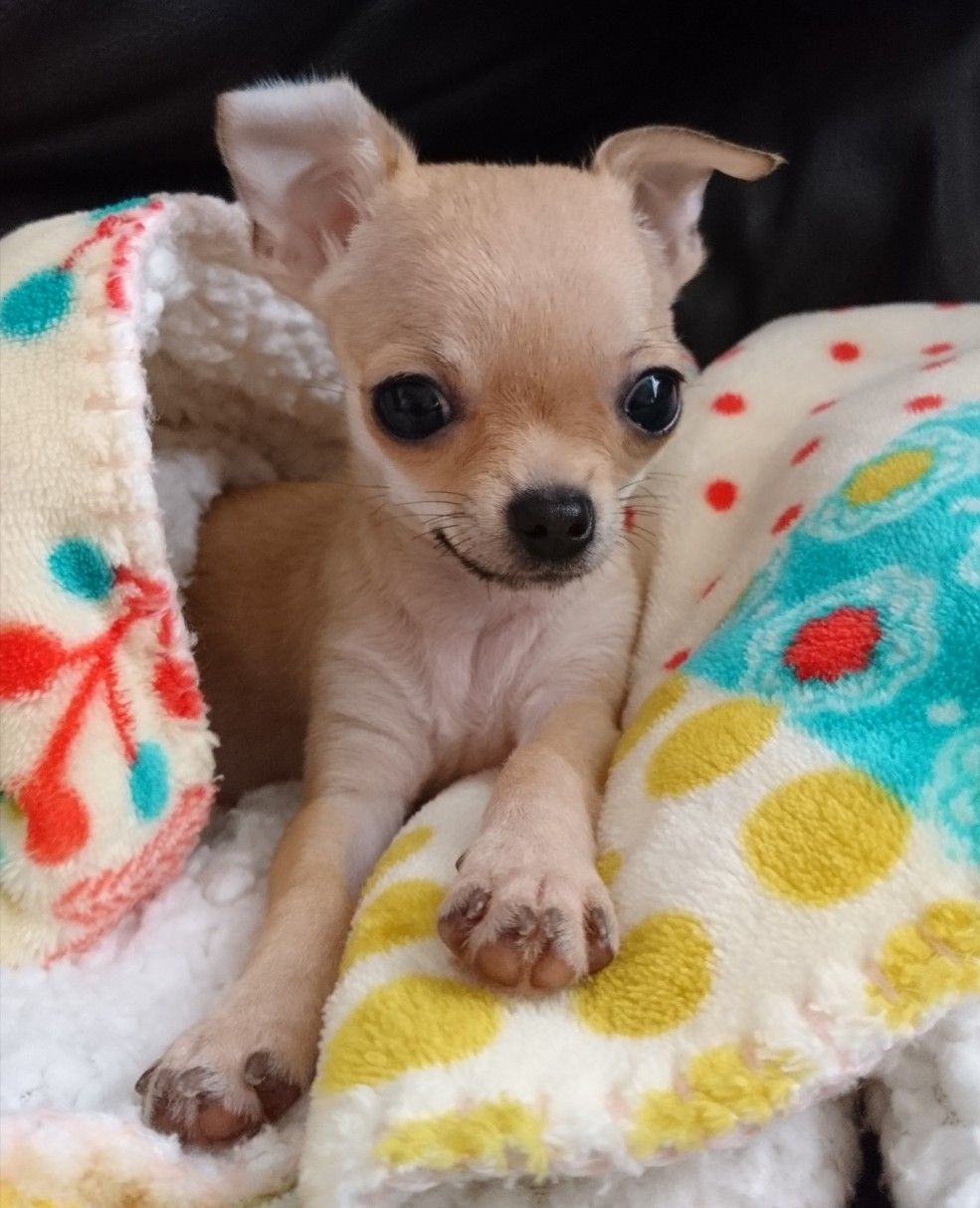Baby Chihuahua Image By Lilyana On Animals Cute Chihuahua