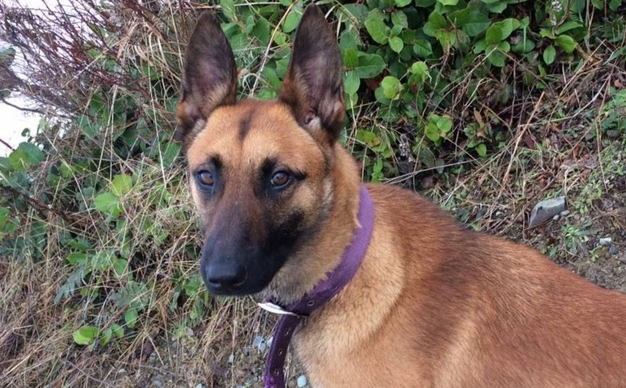 Available Malinois Www Woofproject Org Malinois Belgian