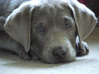 Love This Puppy I Want One Silver Lab Silver Bear Labrador Retriever Puppies Silver Labs