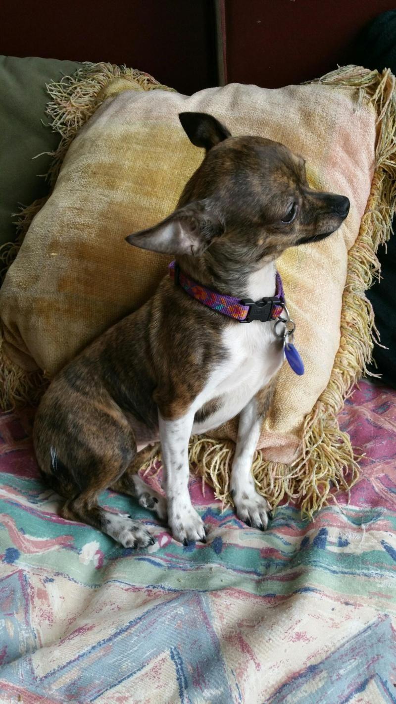 Adopt Trina On Cute Chihuahua Chihuahua Love Chihuahua Dogs