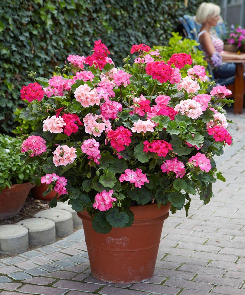 pelargonium zonale 'antik'® | garten auf dem balkon | pinterest, Gartengerate ideen