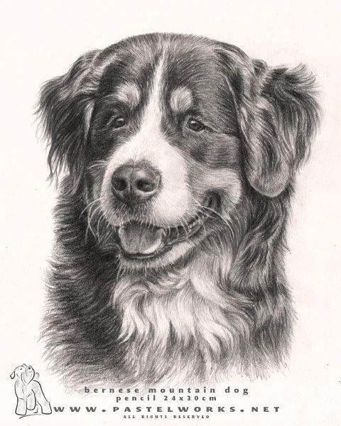 Beautiful Bernese Mountain Dog 3 Drawings Of Dogs Dogs Cartoon