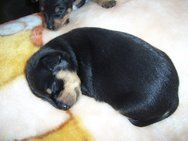 Pin by Junk Mail Classifieds on Puppies | Doberman pinscher puppy