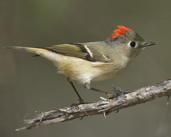 Ruby-crowned Kinglet (Adult male)