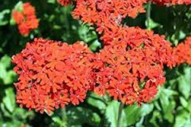 Maltese Cross Flower Seeds Maltese Cross Maltese Plants