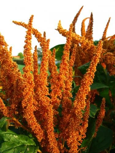 quinoa plant photo photos of odd looking food plants and trees shape magazine