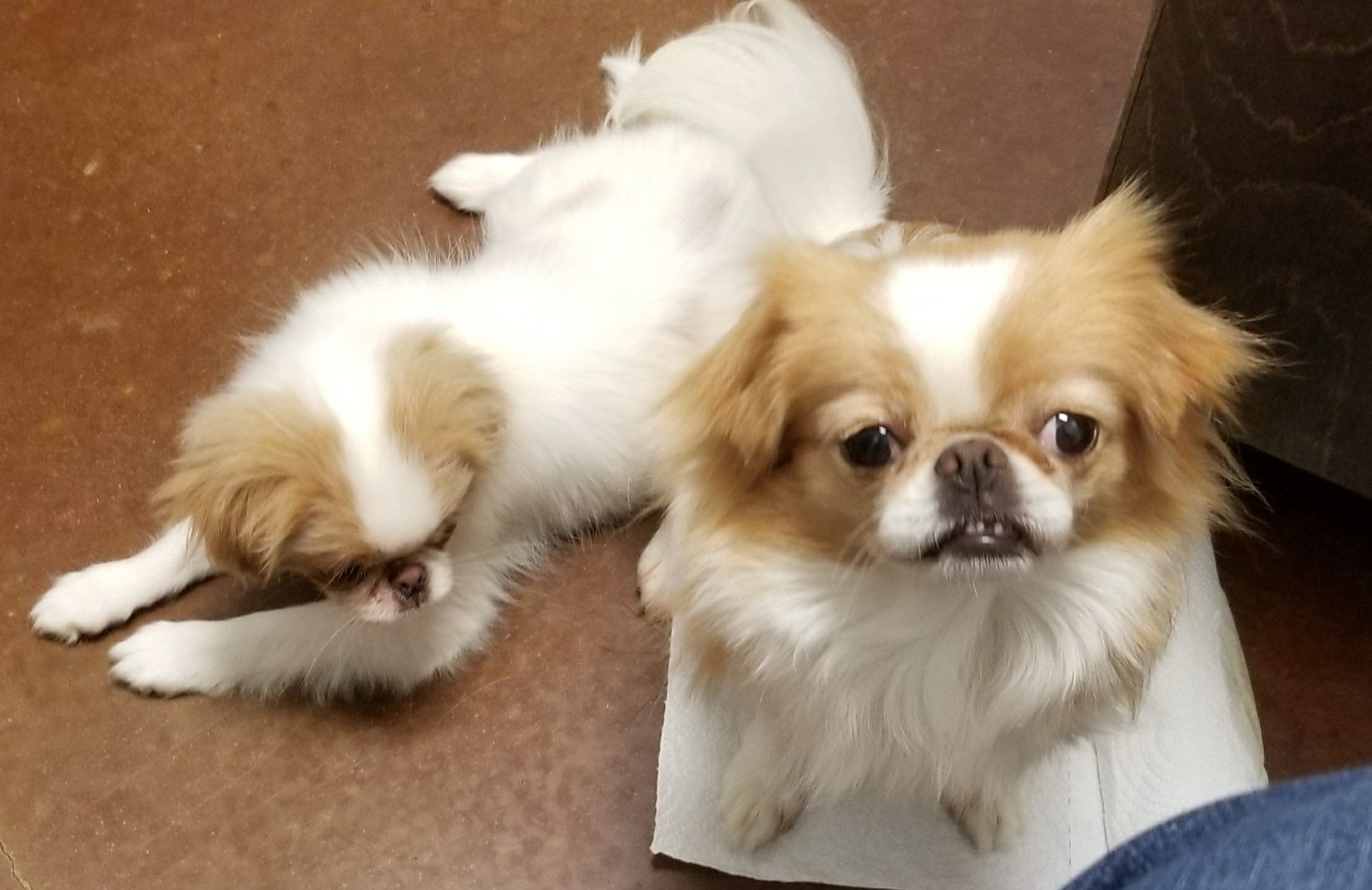 Bella and Darcy Walker's Chins Japanese chin, Puppies