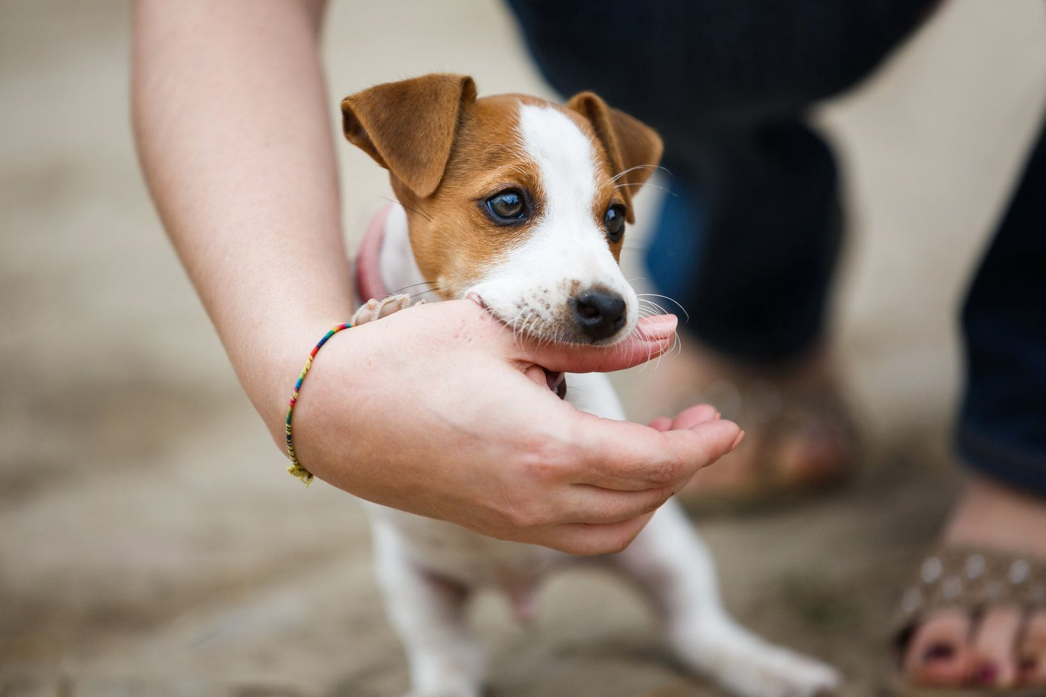 How To Train A Puppy Not To Bite Aggressive Dog Jack Russell