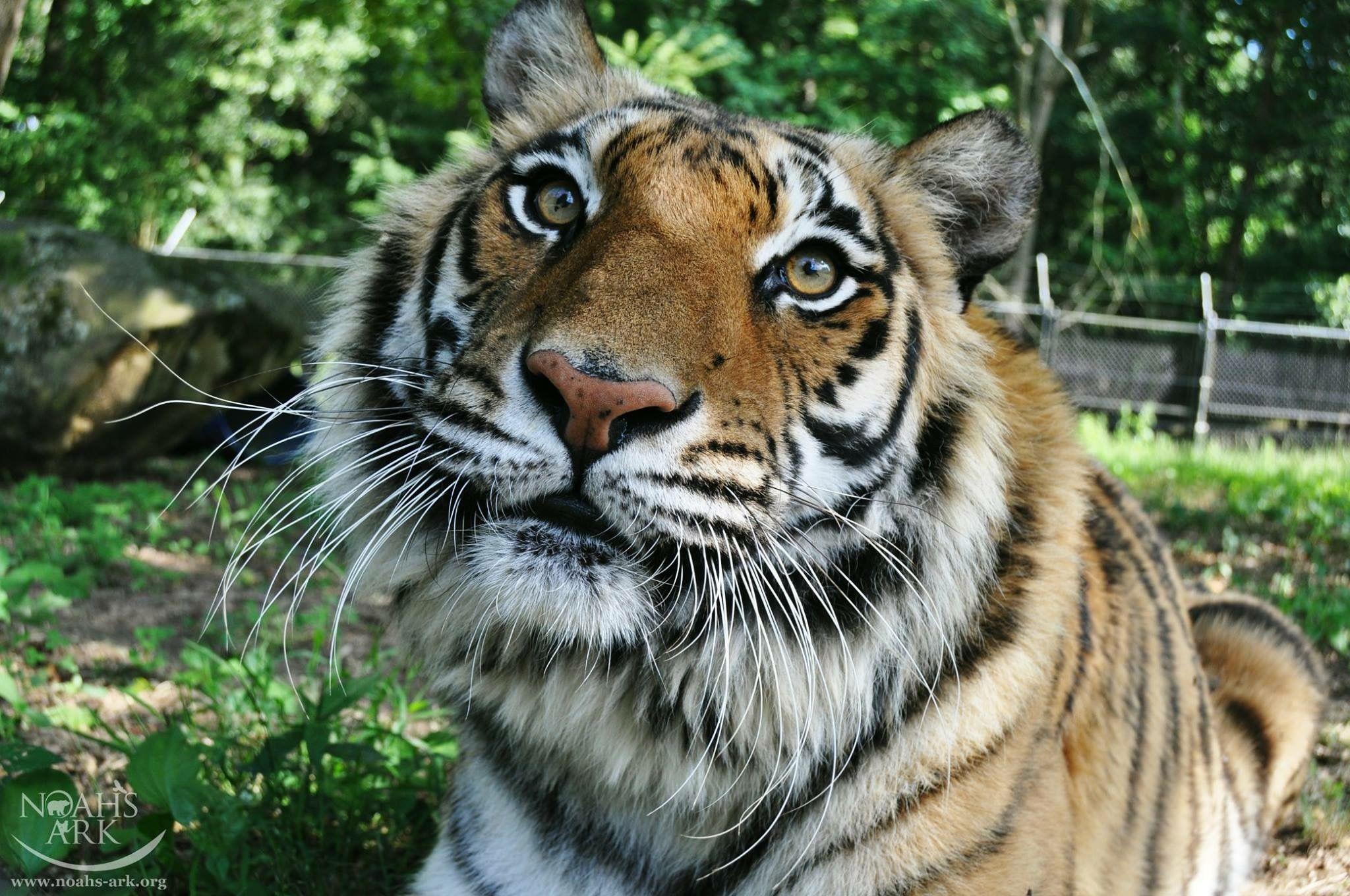 BLT Shere Khan Noahs ark animals, Animal sanctuary