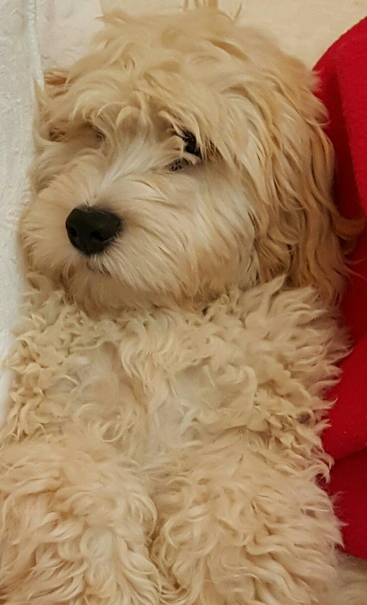 Ralph 19 Weeks Cute Animals Pet Care Dogs Dogs And Puppies