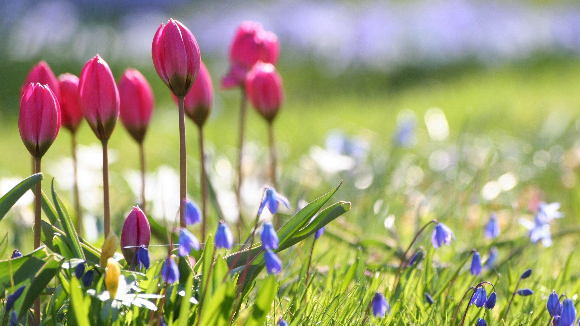 Ljubicice I Tulipani Spring Flowers Wallpaper Wallpaper Nature Flowers Spring Flowers Images