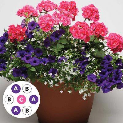 Wave Combo Kwiaty Doniczkowe Geranium Pojemniki Ogrodowe