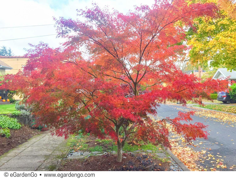 Acer Palmatum Seiryu Common Name Tree Options 4 Lyndsey