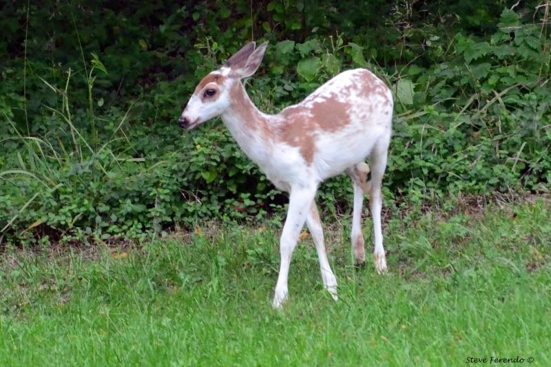 Piebald With Normal Deer Fawn Albino Melanistic Animals