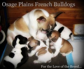 Some Of The Most Beautiful Frenchies Come From Osage Plains