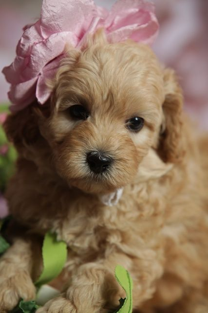 Australian Labradoodle Google Search Cute Dog Pictures Cute Animals Labradoodle