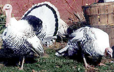 royal palm turkeys