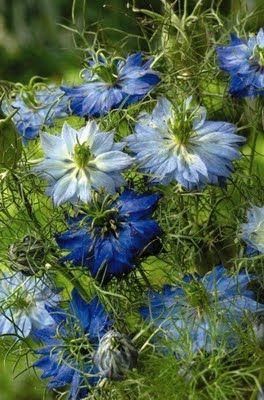 White Nigella Love In A Mist Beautiful Flowers Love Flowers Planting Flowers