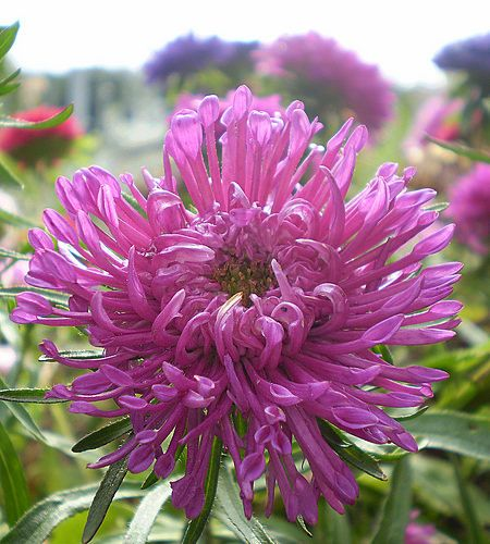 Rose pink spider Aster, China Aster. Callistephus chinensis. Large flowers with thin, twisted petals. Outstanding for cutting.