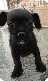 Dachshund Jack Russell Terrier Mix Puppy For Adoption In Santa Ana