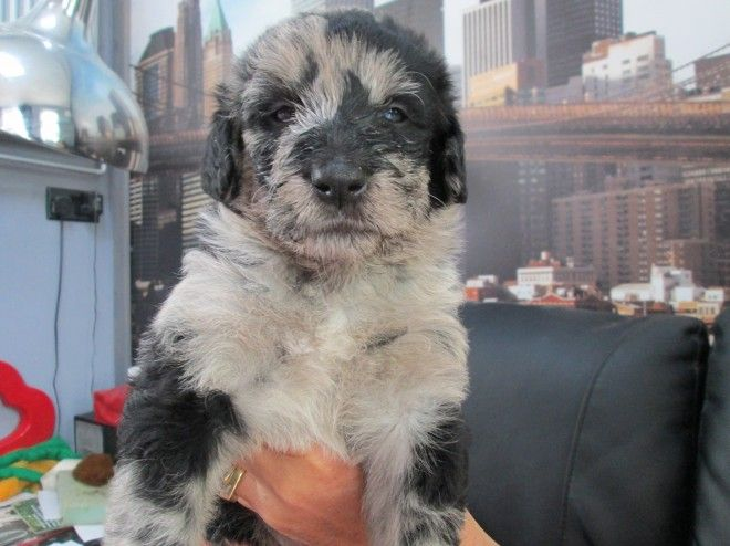 Merle Or Choc Bearded Collie X Labradoodle Puppies Saltash Cornwall Pets4homes Labradoodle Puppy Labradoodle Bearded Collie