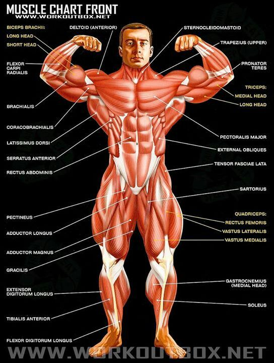 muscle chart front view | strong and healthy | pinterest | muscle, Cephalic Vein