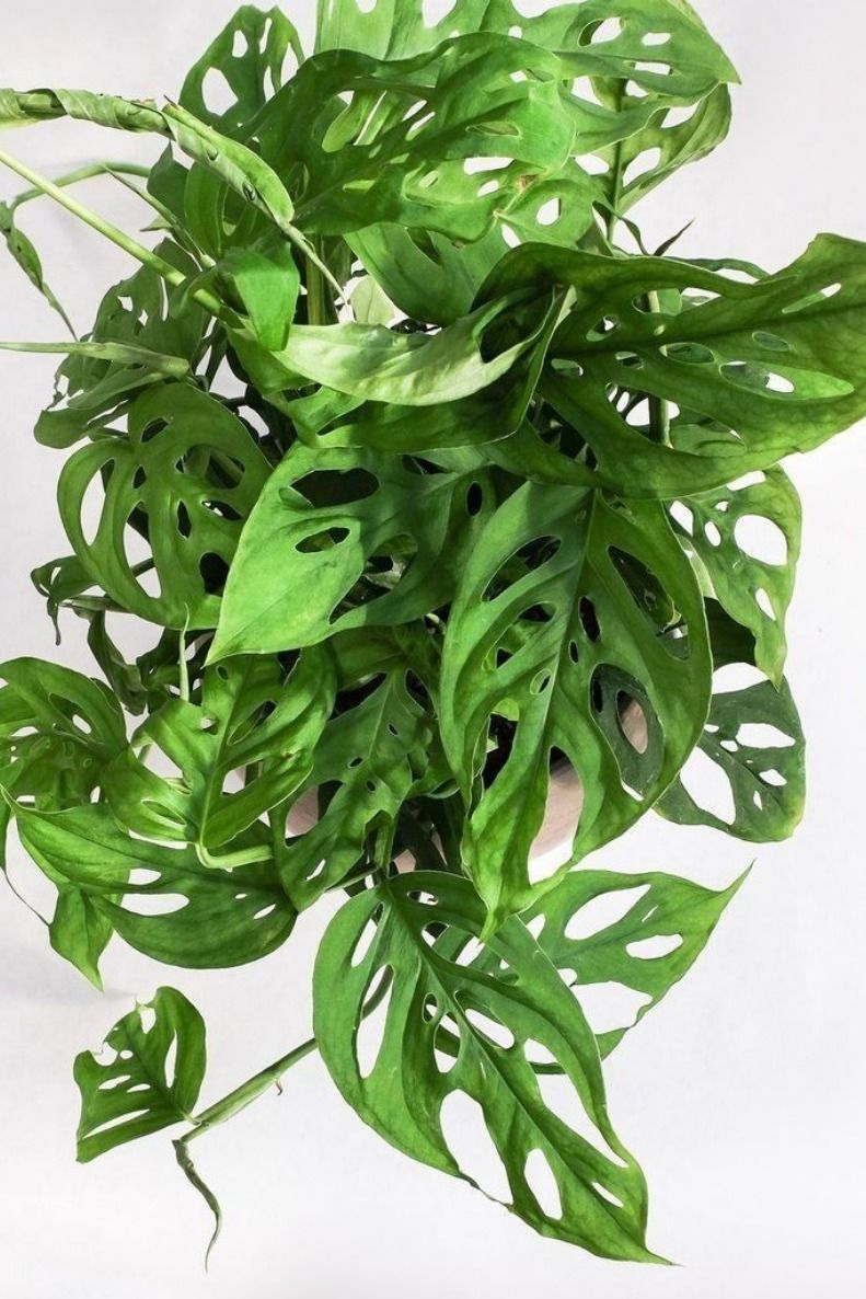 Monstera Swiss Cheese Vine Plant Tropical Plant Houseplant Fit 4 Pot Monstera Obliqua Philodendron Monstera Cheese Plant