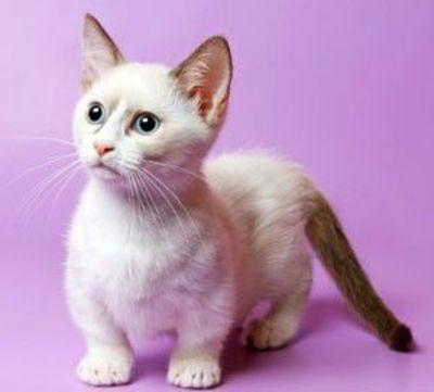 Rug Hugger Kittens Munchkin Cats Come In 4 Sizes Standard Super Short Vw Mic For