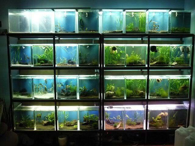 Betta Fish Facts Betta Fish Care A Betta Fish Must Read Aquarium Fish Fresh Water Fish Tank Fish Tank