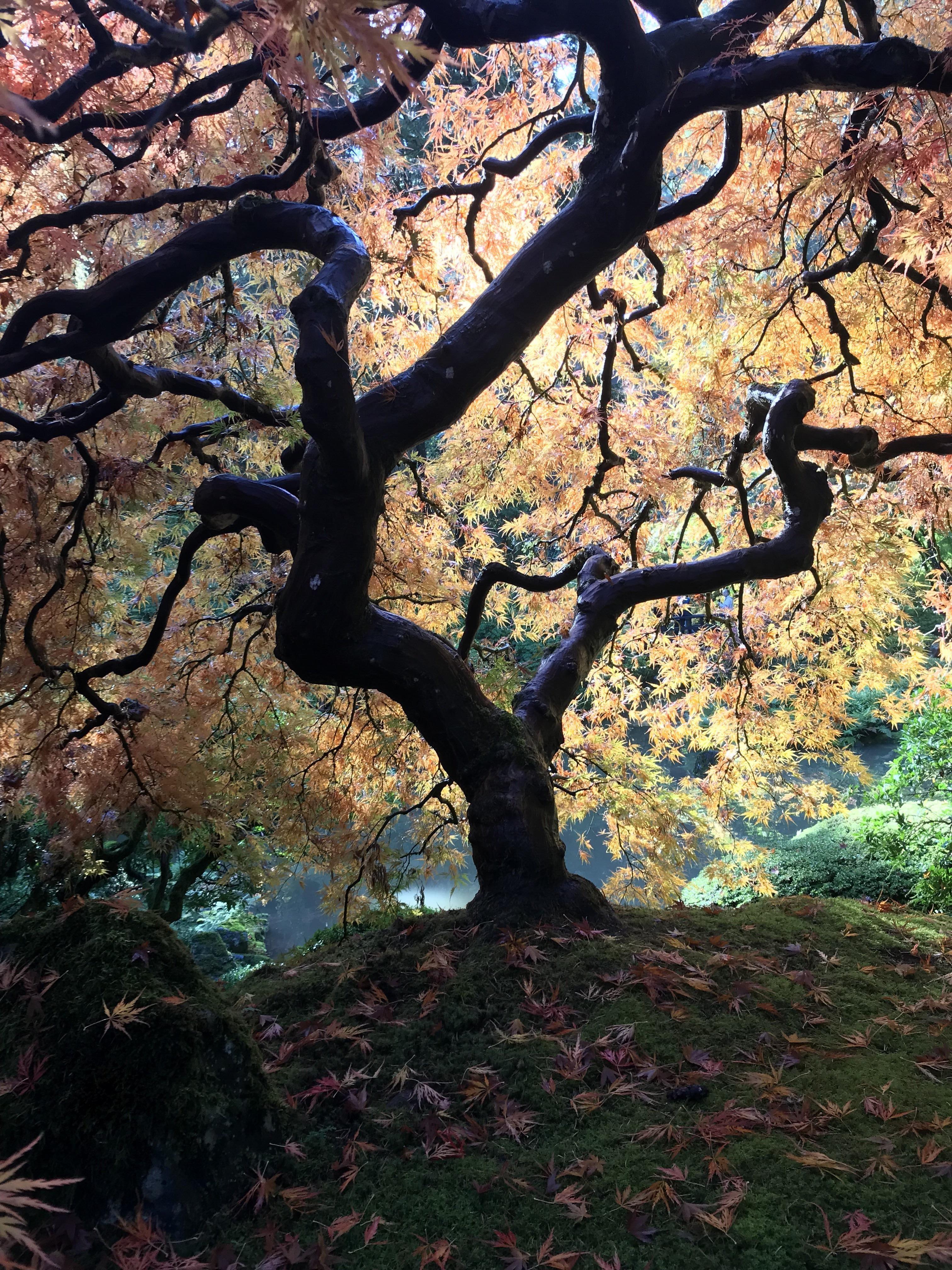 Japanese Maple at the Japanese Gardens [1334x750] [OC]