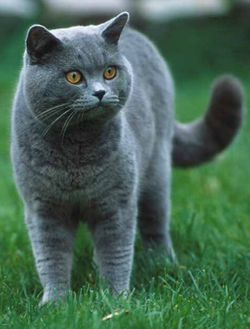 Pampurred British Shorthair Cats And Kittens Cat Breeds British Shorthair Cats British Shorthair Kittens