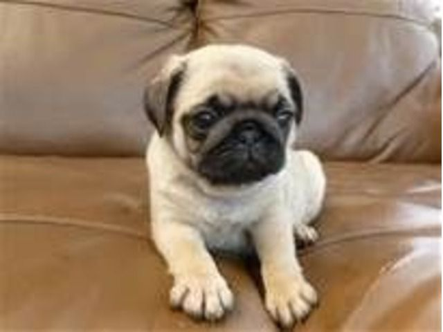 Four Stunning Akc Reg Fawn Pug Puppies Pug Puppies Puggle