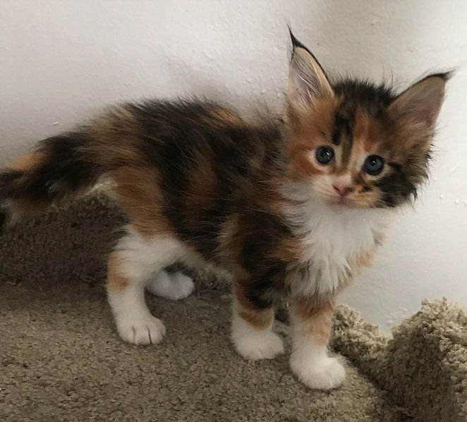 Mainecoon Kittens For Sale Kittens Cutest