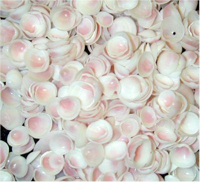 Apple Blossoms seashells