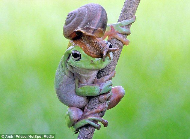 Dapper gent: TheAustralian green tree frog was caught 'wearing' a snail on its head