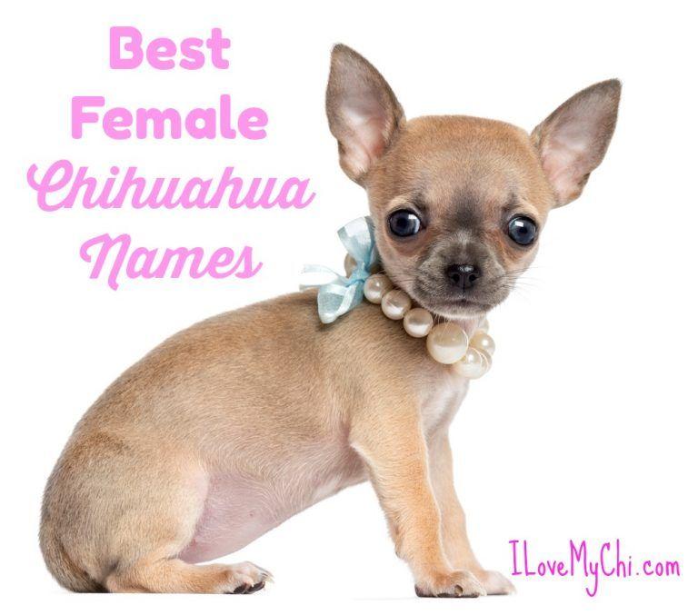 Best Female Chihuahua Names Chihuahua Names Cute Chihuahua