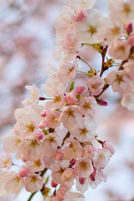 High Park Cherry Blossoms Blossom Cherry Blossom Tree Cherry Blossom