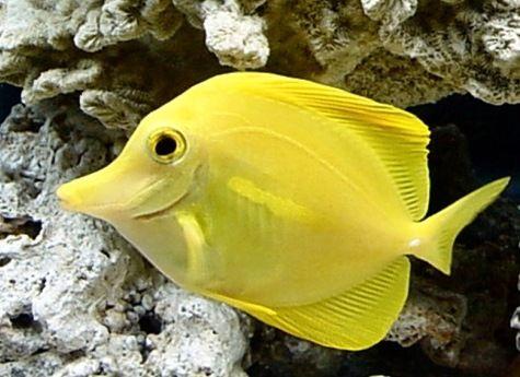 Tropical fish yellow tang salt water aquarium fish for Yellow tang fish