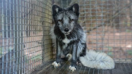 Quebec Won T Remove Animals From Fur Farm Facing Allegations Of Cruelty Hunde In Not Hunde Pelz