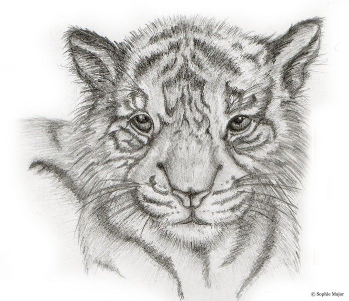 tiger cub a pencil drawing of a cute tiger cub