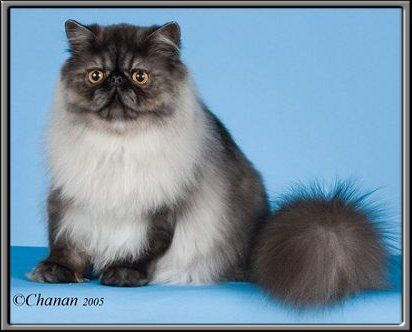 Nightflash Persians Home Page Persian Cat Persian Cats For Sale Persian Kittens