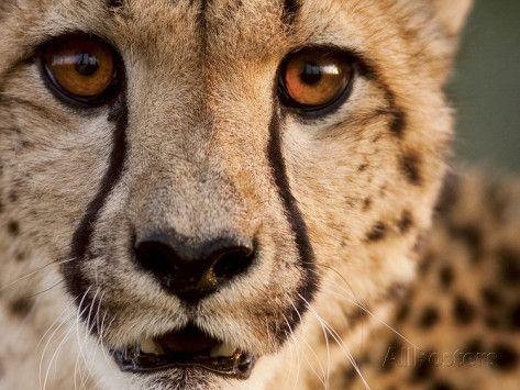 Cheetah Close Up Google Search Mit Bildern Wilde Katzen