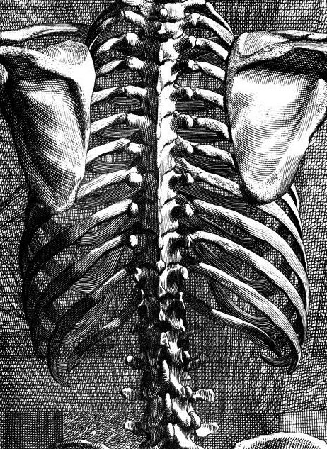 Rib Cage Diagram Back : diagram, Cage.。Back, :→:, Artist, Bernard, Siegfried, Albinus, Drawing,, Skeleton, Drawings,, Anatomy