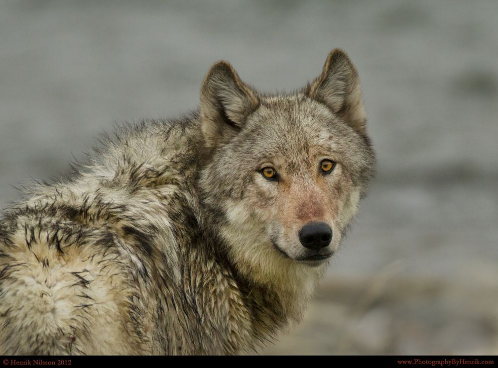 Hello Mr. Wolf Photo by Henrik Nilsson — National Geographic Your Shot